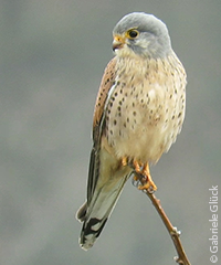Bird species - Kestrel